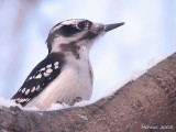 Pics - Woodpeckers