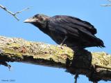 Grand Corbeau immature - Juvenile common Raven