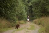 Wild zwijn met jogger