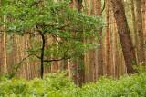 Hout-akker met zomereik en bosbes