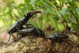 Stag Beetle - Vliegend Hert
