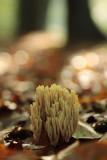 Straight-Branched Coral - Rechte koraalzwam