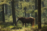 Horse in a forest - Paard in het bos