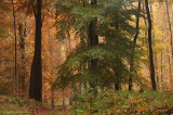 Autumn Beech - Herfstbeuk