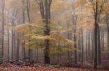 Beech forest, fog - Beukenbos, mist