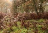 Misty oak forest - Mistig eikenbos
