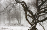 Oak forest, snow and fog - Eikenbos, sneeuw en mist