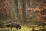 Wild Boar - Wild zwijn