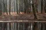 Winterbeukenbos - Beech forest, winter