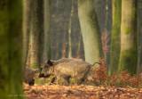 Wild Boar - Wild zwijn 3
