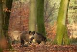 Wild Boar - Wild zwijn 2