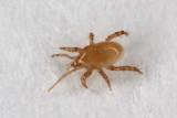 Hypoaspis-aculeifer.jpg