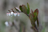 Chamaedaphne-calyculata.jpg