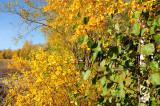 Salix_Betula_Alnus.jpg