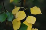 Betula-pubescens_autumn.jpg