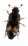 Carpophilus-hemipterus.jpg