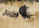 Rhino & Calf