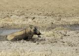 Warthog Bath
