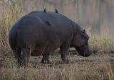 Waddling Hippo