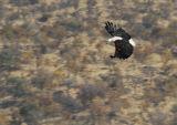 Mating Flight Fish Eagle