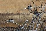Cormorant Nests & Chicks