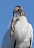 40d-5007 - Wood Stork
