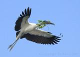63534 - Wood Stork