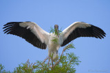 63594 - Wood Stork