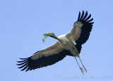 63600c - Wood Stork