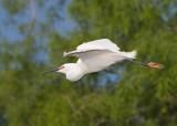 63693R - Snowy Egret