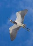 63833c - Tricolor Heron