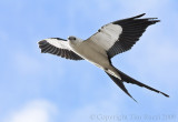 66409c - Swallowtail Kite