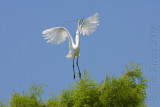 66627c - Great Egret flight #1