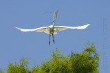 66628c - Great Egret flight #2
