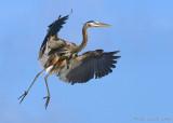42998c - Great Blue Heron #1 of 5