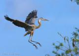 43004c - Great Blue Heron #5 of 5