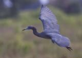 43311c  - Little Blue Heron