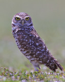 43156c  - Burrowing Owl