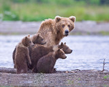 88061 - Grizzly Sow with 4 Cubs
