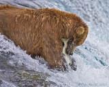 88286c - bear catching salmon