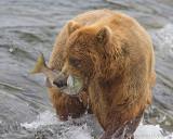 86448 - Bear catching salmon