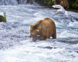 87079 - Bear catching salmon