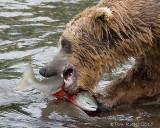 87326  - Bear catching salmon