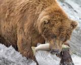 87632  - Bear catching salmon