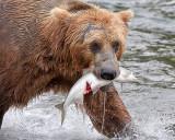 40_11963 - Bear catching salmon
