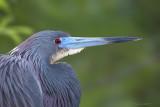 66420 - Tricolor Heron