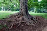 05540 - Roots of a mulberry tree