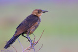 31011 - Female Grackle