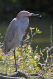 00599 - One year old Reddish Egret