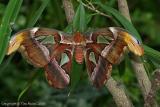 16060 - Atlas Moth